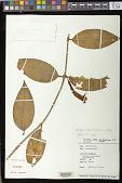 view Aeschynanthus magnificus Stapf digital asset number 1