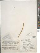 view Paspalum arundinaceum Poir. digital asset number 1