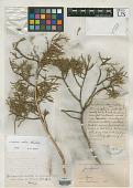 view Juniperus occidentalis var. conjungens Engelm. digital asset number 1