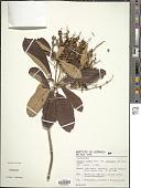 view Clethra scabra var. laevigata (Meisn.) Sleumer digital asset number 1