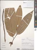 view Anaxagorea crassipetala Hemsl. digital asset number 1