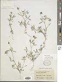 view Trifolium willdenovii Spreng. digital asset number 1