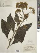 view Neurolaena lobata (L.) Aiton ex Cass. digital asset number 1