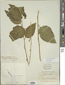 view Cestrum latifolium Lam. digital asset number 1
