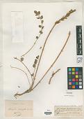 view Astragalus platyphyllus Karelin & Kirilov digital asset number 1