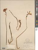 view Narcissus poeticus L. digital asset number 1