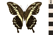 view Constantine's Swallowtail digital asset number 1