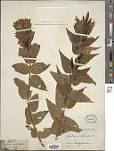 view Gentiana asclepiadea L. digital asset number 1