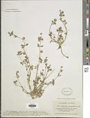 view Trifolium resupinatum digital asset number 1
