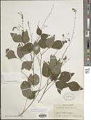 view Hylodesmum pauciflorum (Nutt.) H. Ohashi & R.R. Mill digital asset number 1