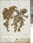 view Astragalus vulneraria DC. digital asset number 1
