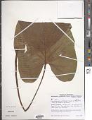 view Xanthosoma pilosum K. Koch & Augustin digital asset number 1