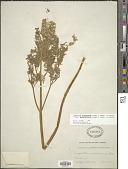 view Lomatium dissectum (Nutt.) Mathias & Constance digital asset number 1