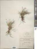 view Carex humilis Leyss. digital asset number 1