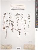 view Limnophila indica (L.) Druce digital asset number 1