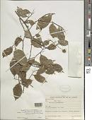 view Swartzia simplex var. ochnacea (DC.) R.S. Cowan digital asset number 1