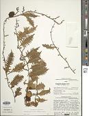 view Microgramma bifrons (Hook.) Lellinger digital asset number 1