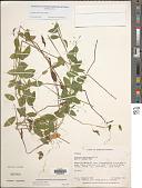 view Zeugites americanus Willd. digital asset number 1