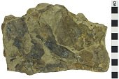 view Fossil Tea Plant digital asset number 1
