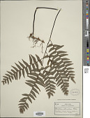 view Adiantum latifolium Lam. digital asset number 1