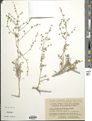 view Artemisia eriocarpa de Bunge digital asset number 1