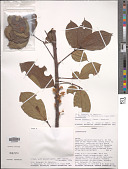 view Rourea thomsonii (Baker) Jongkind digital asset number 1