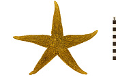 view Common Sea Star, Starfish digital asset number 1