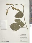 view Calopogonium velutinum (Benth.) Amshoff digital asset number 1