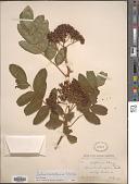 view Sorbus cascadensis G.N. Jones digital asset number 1