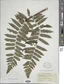 view Cyathea squamata (Klotzsch) Domin digital asset number 1