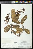 view Souroubea guianensis Aubl. subsp. guianensis digital asset number 1