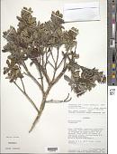 view Columellia oblonga subsp. sericea (Kunth) Brizicky digital asset number 1