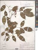 view Rourea amazonica (Baker) Radlk. digital asset number 1