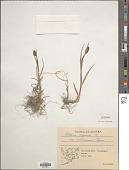view Phleum alpinum L. digital asset number 1