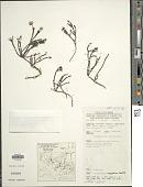 view Tetramolopium virgatum Mattf. digital asset number 1