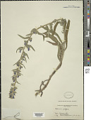 view Echium vulgare digital asset number 1