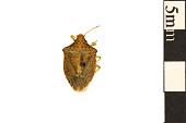view Brown Stink Bug digital asset number 1