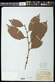 view Doliocarpus brevipedicellatus Garcke subsp. brevipedicellatus digital asset number 1