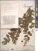 view Spiraea latifolia digital asset number 1