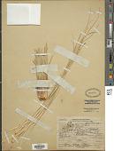 view Xerophyllum tenax (Pursh) Nutt. digital asset number 1