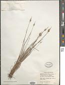 view Polypogon maritimus Willd. digital asset number 1