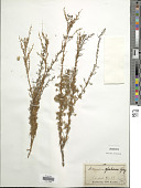 view Artemisia glutinosa J. Gay digital asset number 1