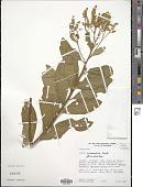 view Monnina solandraefolia Triana & Planch. digital asset number 1