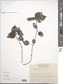 view Pilea pubescens Liebm. digital asset number 1