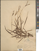 view Paspalum scrobiculatum var. bispicatum Hack. ex Merr. digital asset number 1