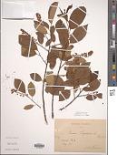 view Padus virginiana (L.) M. Roem. digital asset number 1