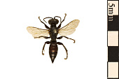 view Square-headed Wasp digital asset number 1