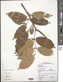 view Cheiloclinium cognatum (Miers) A.C. Sm. digital asset number 1