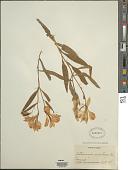 view Alstroemeria aurantiaca D. Don digital asset number 1