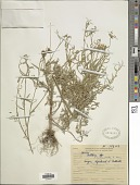view Crotalaria lanceolata E. Mey. digital asset number 1